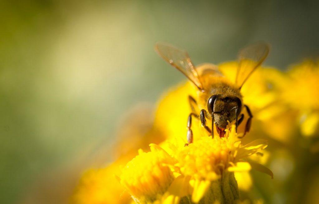 Honey Bee collecting Nectar | Lee Honey Bee