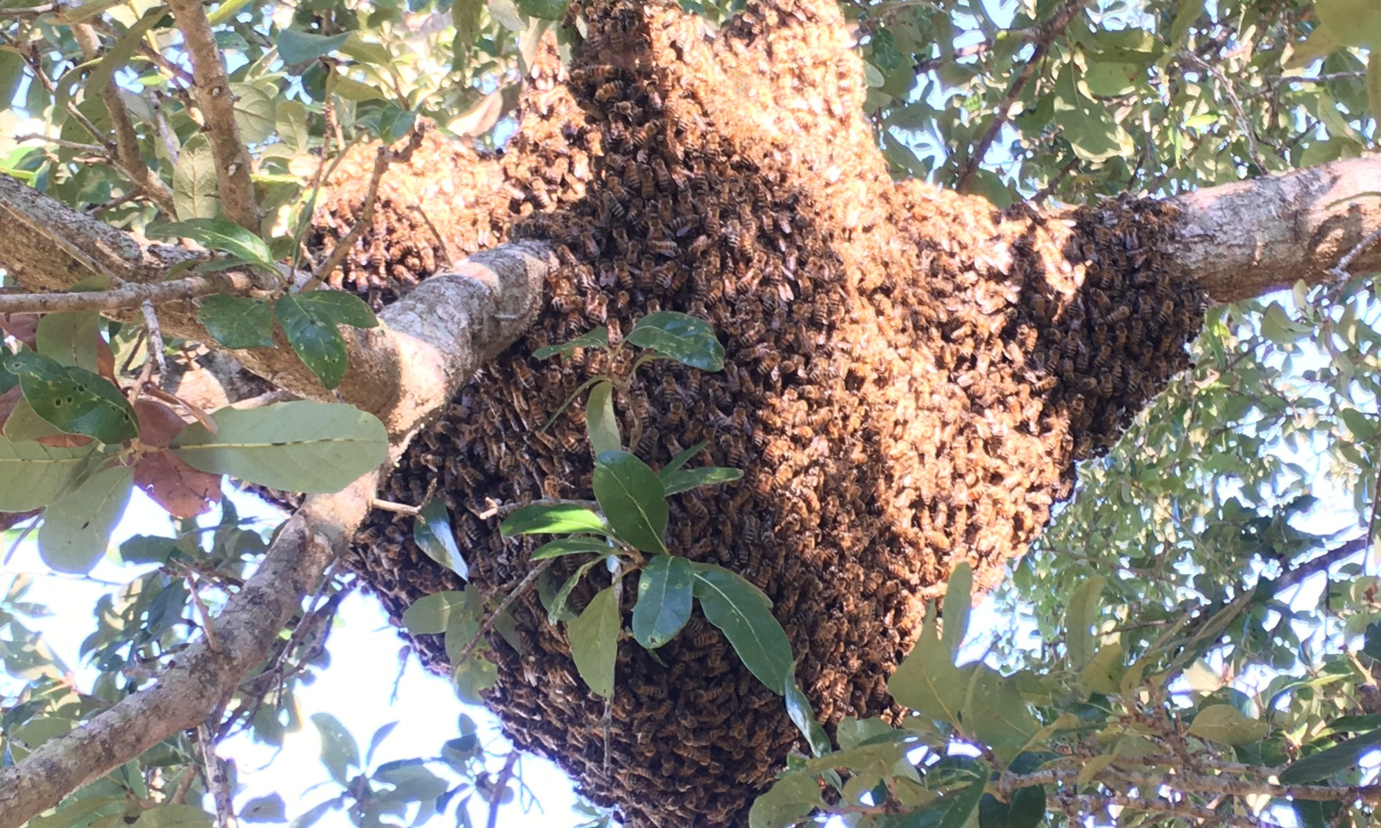 Bee Removal Cape Coral