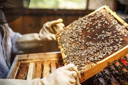 beekeeper looking at frame of honey bees   Bee 101 Workshop   Lee Honey Bee